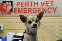 Chihuahua Visits PVE With A Closed And Cloudy Eye